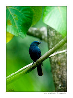 Asian fairy-bluebird (Irena puella)