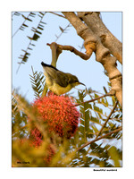 Beautiful sunbird  0014
