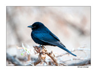 African Drongo