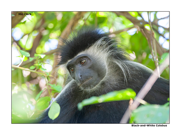 Black-and-White Colobus Monkey