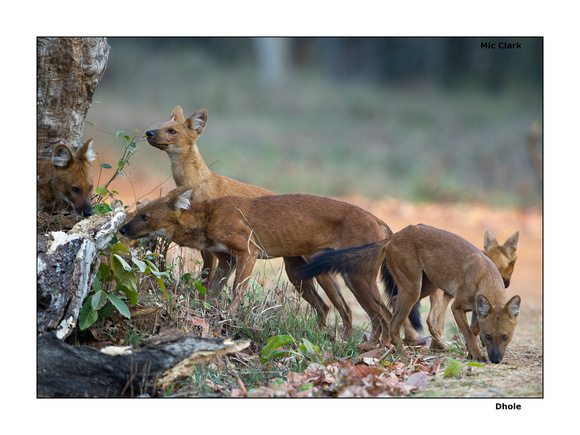 Dhole /  Wild dogs